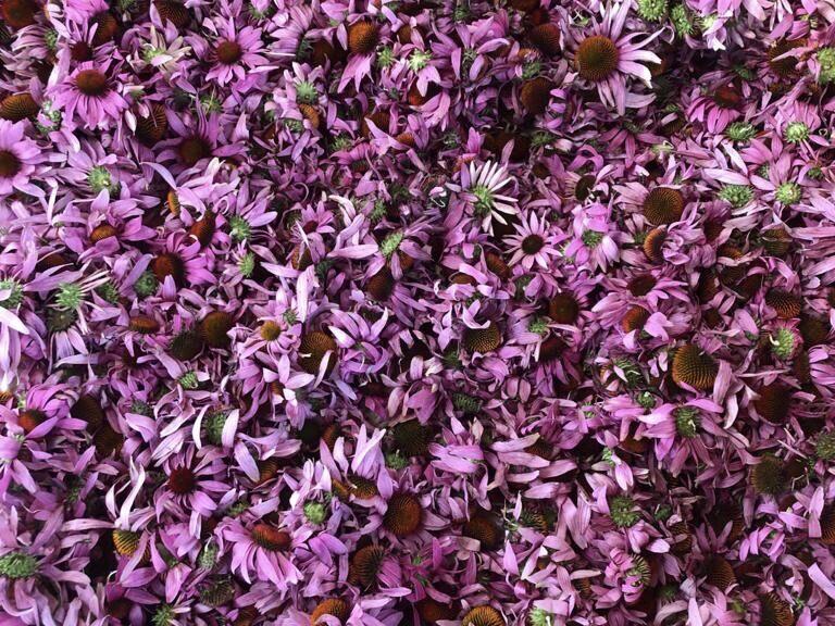 Ehinācija (Echinacea purpurea)
