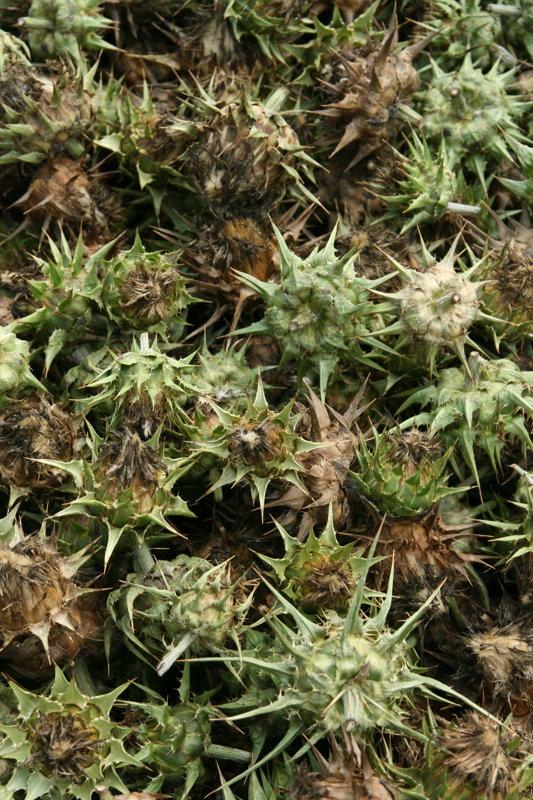 Mārdadža sēklas (Silubum marianum)