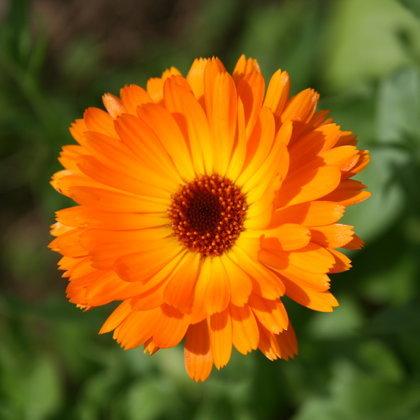Kliņģerītes ziedi