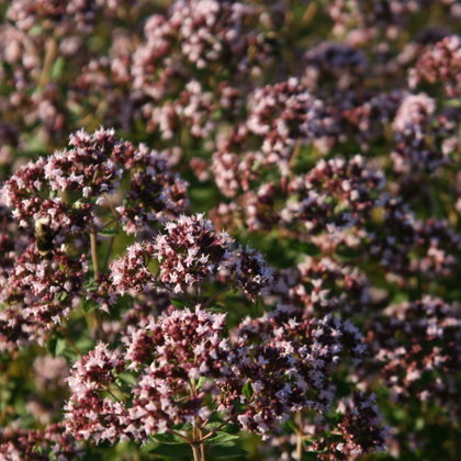 Raudene (herba Origani)