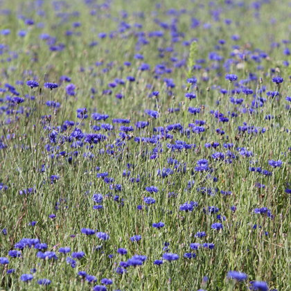 Rudzupuķe skaidras acis Latgale