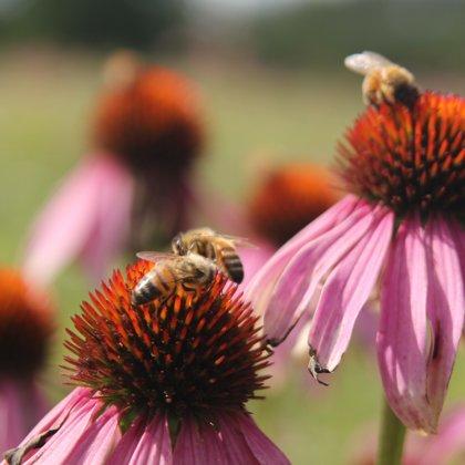 Ehinācija zāļu tēja bites medus